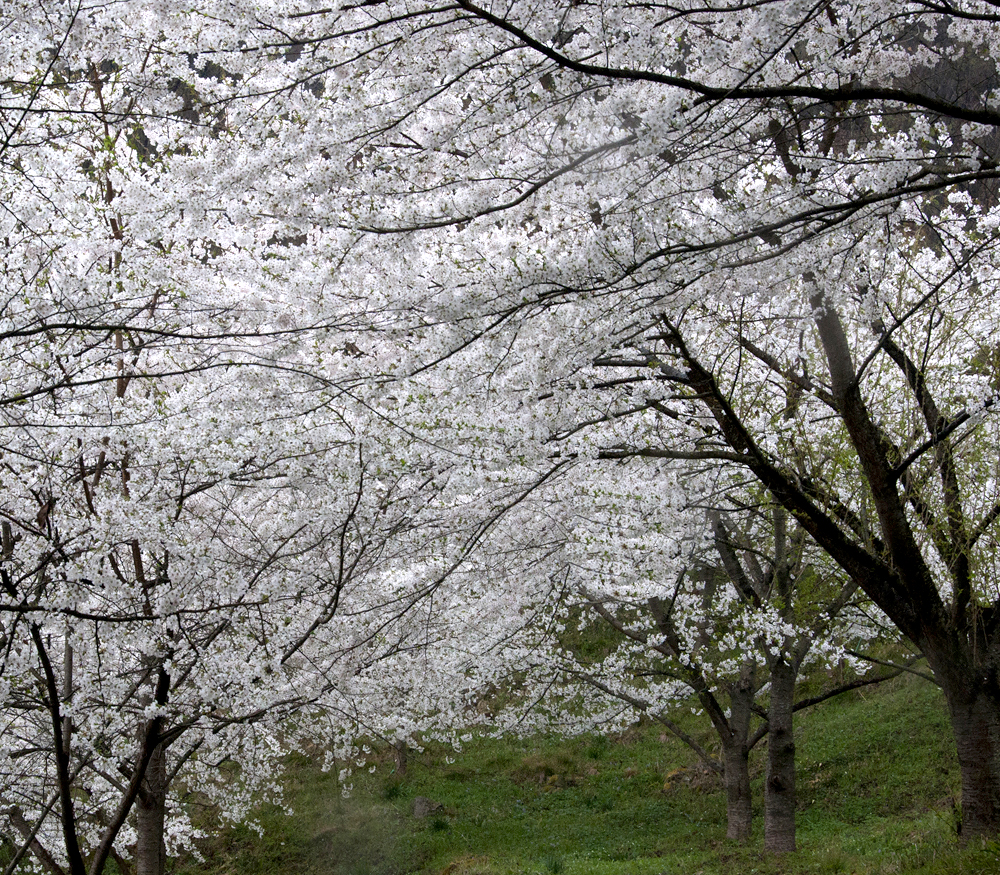 古寺、桜WEB2