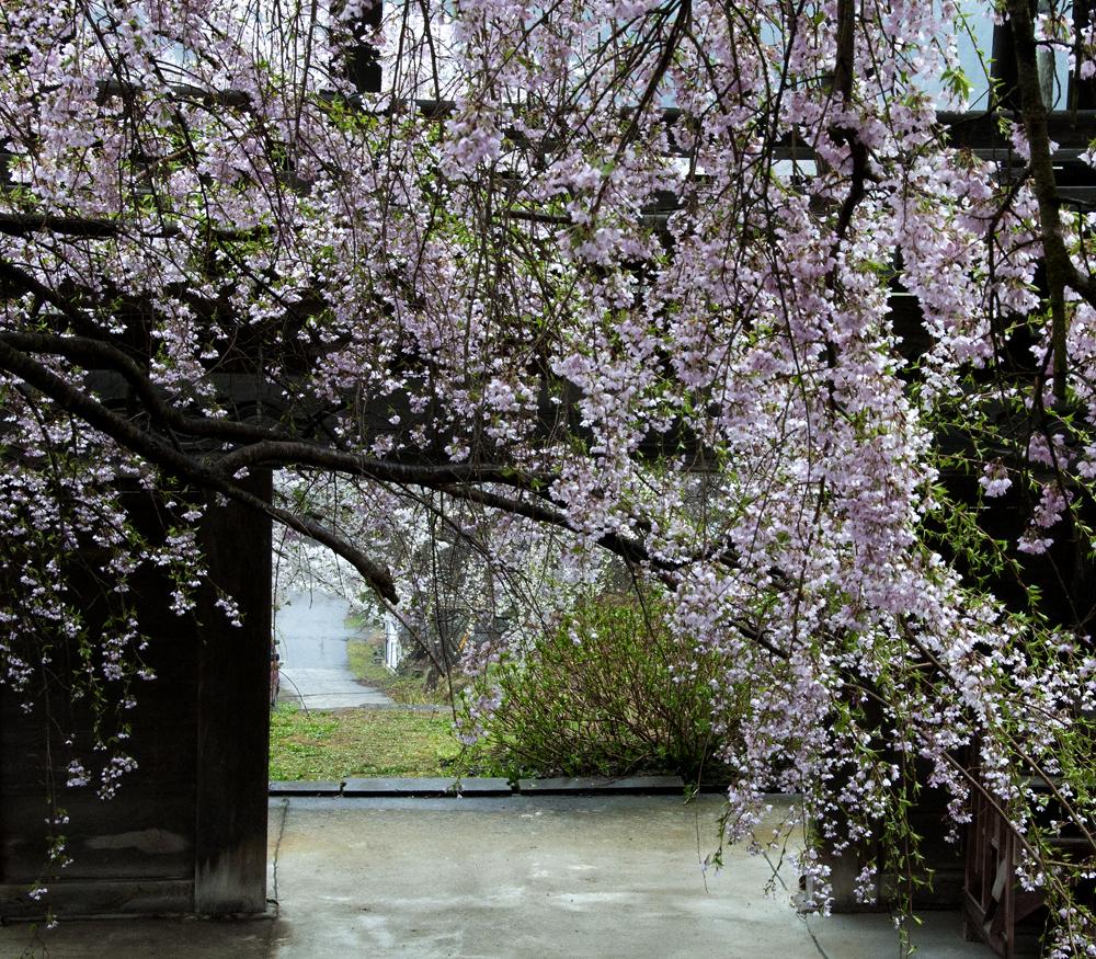 古寺、桜WEB3
